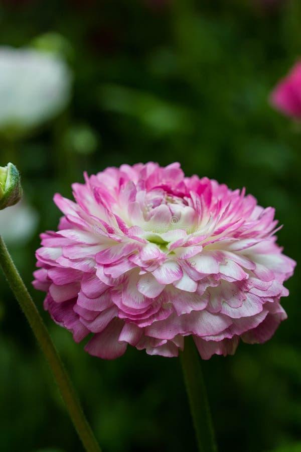 Rosa persisk smörblommablomma (Ranunculusasiaticusen) fotografering för bildbyråer