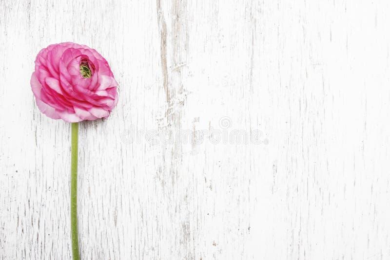 Rosa persisk smörblommablomma (ranunculusen) arkivbilder