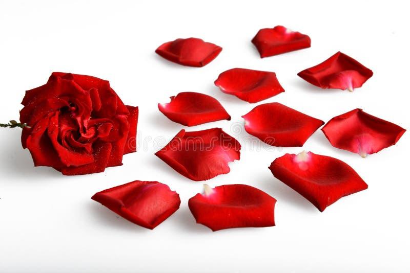 rosa petal royaltyfria foton