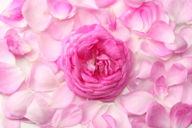 Rosa rosa petals som isoleras p? vitbakgrund Top besk?dar royaltyfria foton