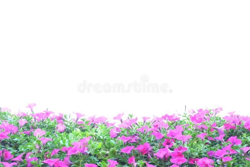 Rosa petunia arkivfoto
