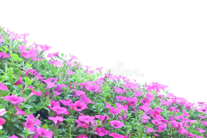 Rosa petunia royaltyfri bild