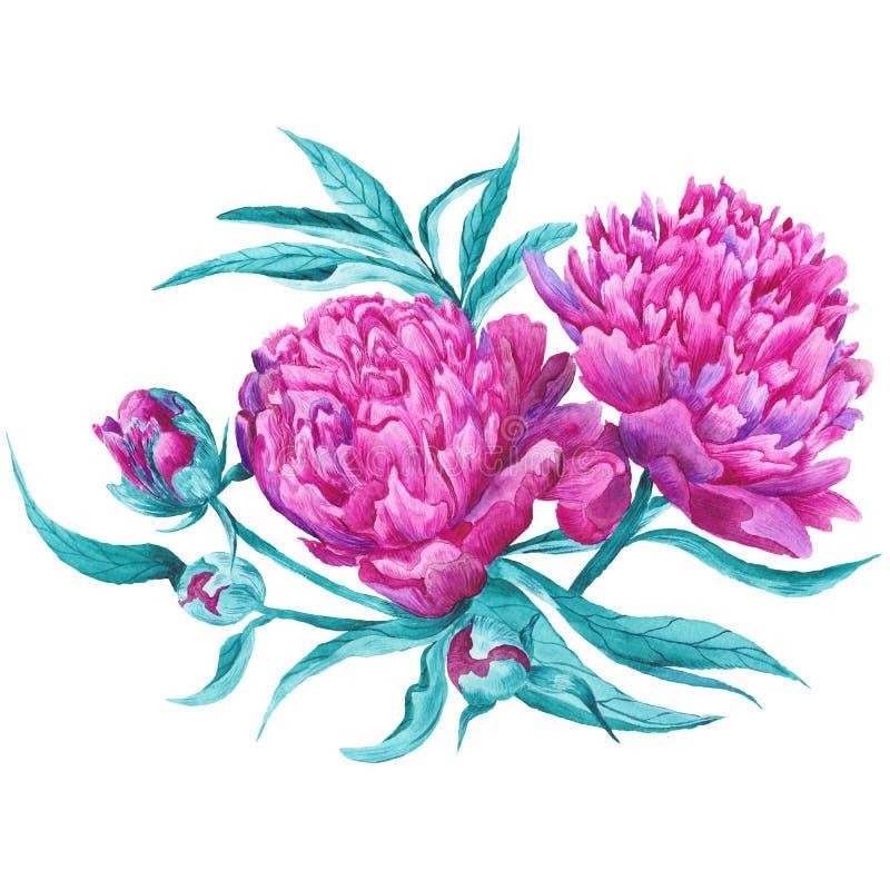 Rosa Pfingstrosen-botanische Illustration stock abbildung