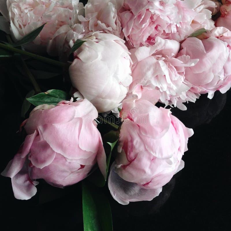 Rosa Pfingstrosen in voller Blüte stockfotos