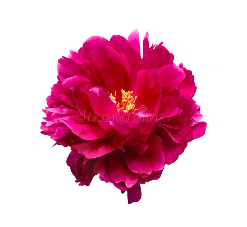 Rosa Pfingstrosenblume lokalisiert auf weißem Hintergrund stockfoto