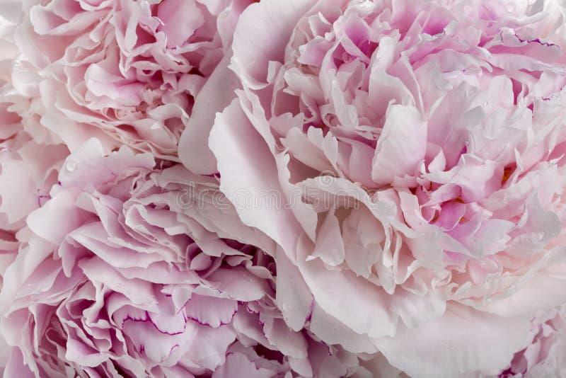 Rosa Pfingstrosenblumen als Hintergrund lizenzfreie stockfotografie