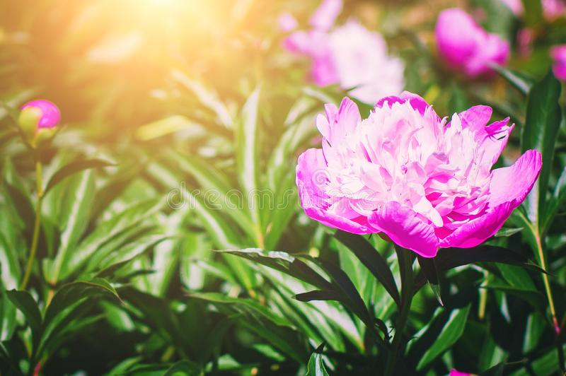 Rosa Pfingstrosenblumennahaufnahme in den hellen Strahlen der untergehenden Sonne Sch?ner Sommerhintergrund lizenzfreie stockfotografie