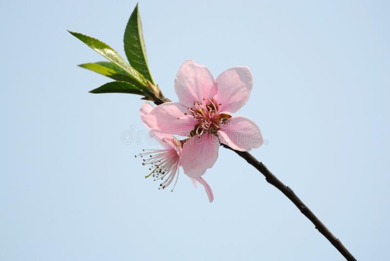 Pfirsichblütenblume stockbild