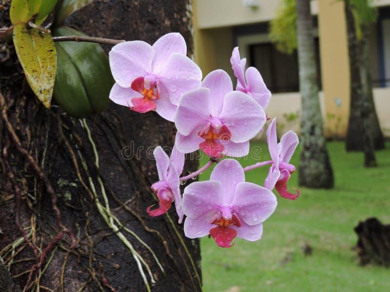 Rosa Phalaenopsisorchidee stockfotos