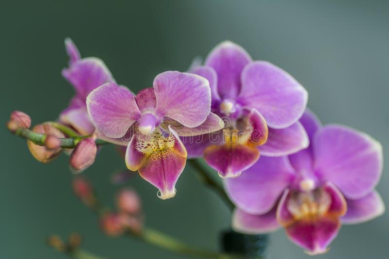 Rosa Phalaenopsisorkidéblomma i tropisk trädgård för vinter eller för vårdag på turkosbakgrund royaltyfri fotografi