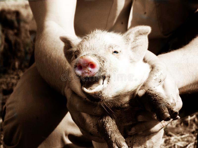 Rosa Pig royaltyfri foto