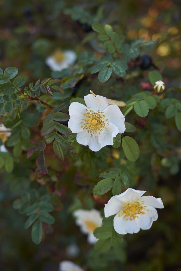 Rosa pimpinellifolia i blom royaltyfri fotografi