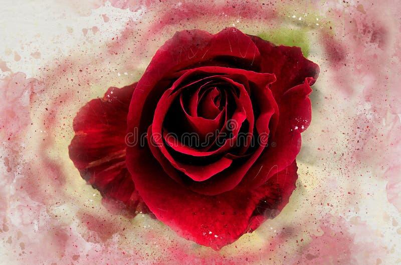 Rosa pintada aquarela do vermelho ilustração do vetor