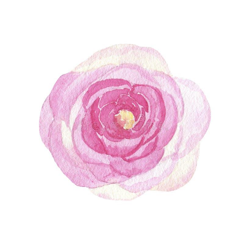 Rosa pintado à mão do rosa da flor da aquarela isolada no fundo branco ilustração royalty free
