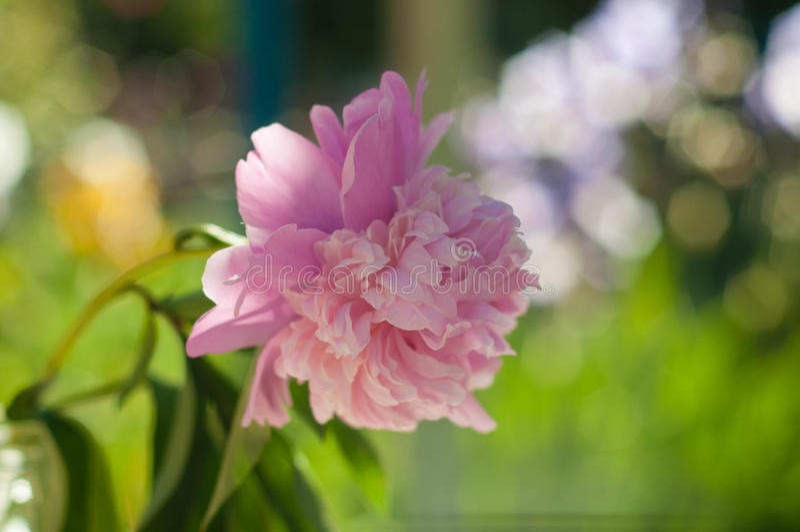 Rosa pion royaltyfri foto