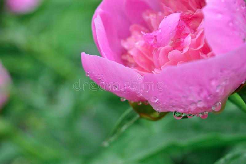 Rosa pion efter regn fotografering för bildbyråer