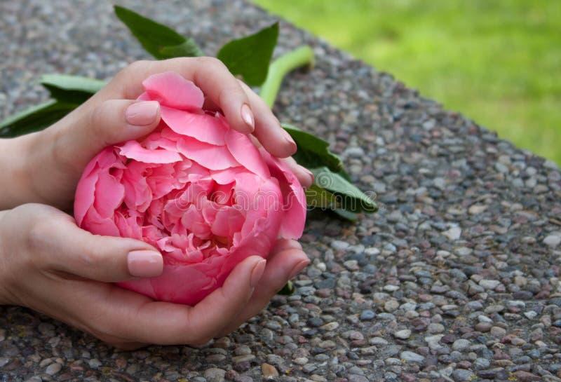 Rosa pion i h?nder royaltyfria bilder