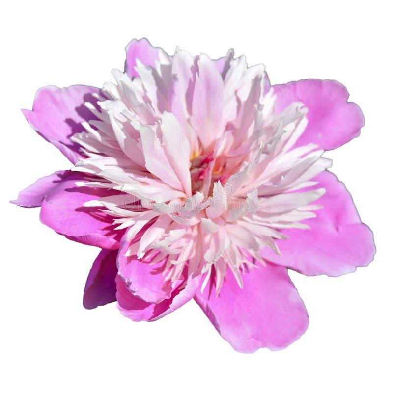 Rosa pion i tr?dg?rden Bokeh rosa pion i tr?dg?rden med gr?n suddig bakgrund En stor rosa pionblommanärbild på öppet royaltyfri fotografi