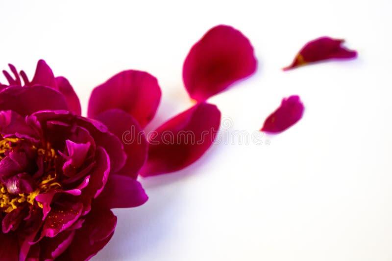Rosa pion på en vit bakgrund, closeup arkivfoton