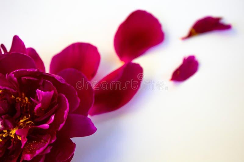 Rosa pion P? en vit bakgrund arkivbilder