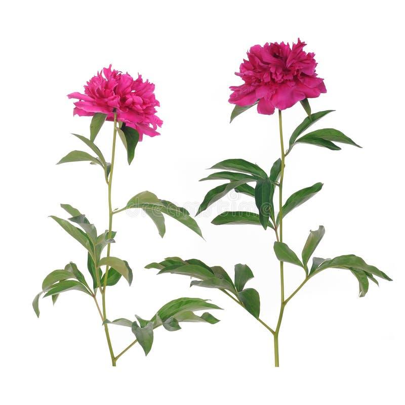 Rosa pionblomma royaltyfri bild