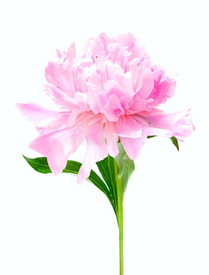 Rosa pionblomma som isoleras på vit arkivfoto