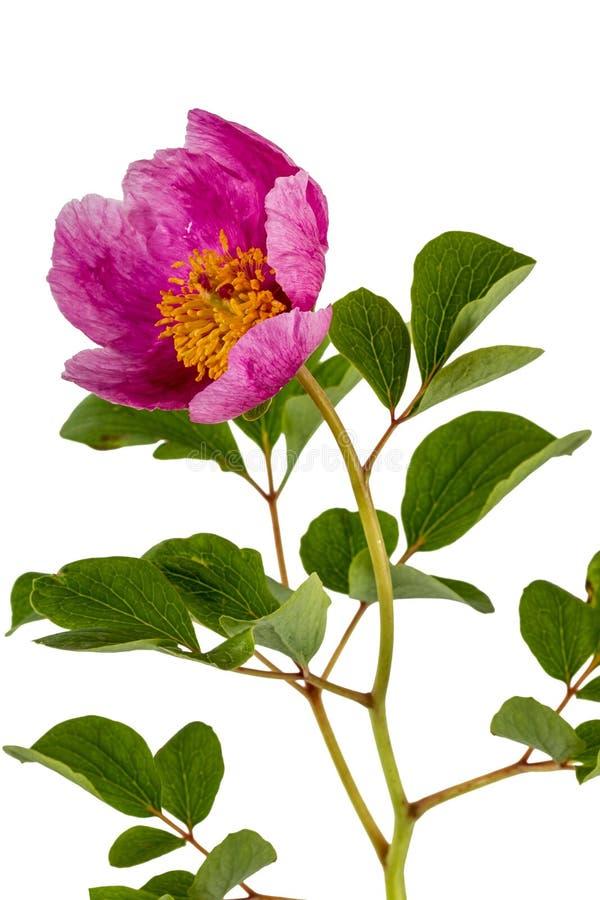 Rosa pionblomma som isoleras på vit bakgrund arkivfoton