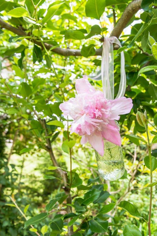 Rosa pionblommor i en glass krus royaltyfri bild
