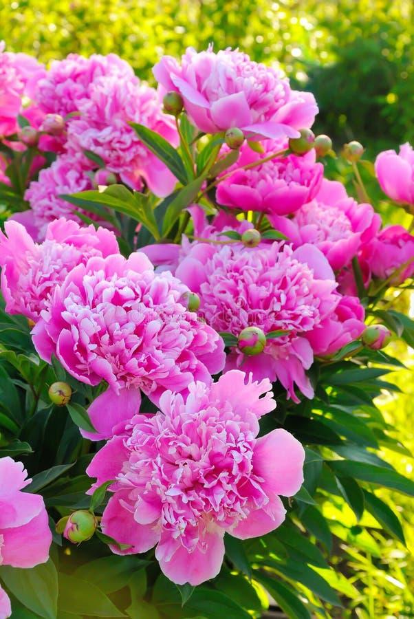 Rosa pioner i trädgård arkivbild