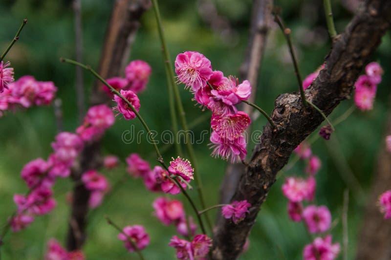 Rosa plommonblomningblommor i vår arkivbild