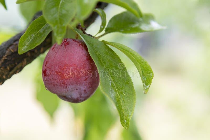 Rosa plommoner, apelsin N S W producerar ett stort antal olik frukt från körsbär till druvapäron, plommoner, persikor, äpplen royaltyfria bilder
