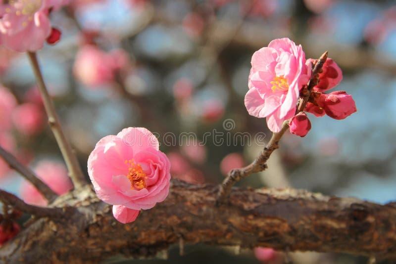 Rosa plommonträd blomstrar i vinter arkivbild