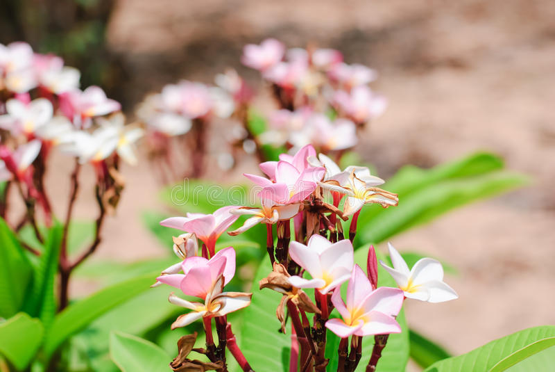 rosa plumeria arkivfoton