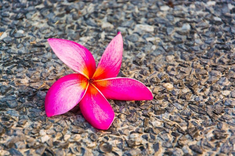 Rosa Plumeria auf dem Boden stockbild