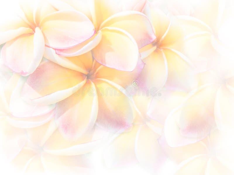 Rosa plumeria- eller Frangipaniblommor för söt färg arkivbild