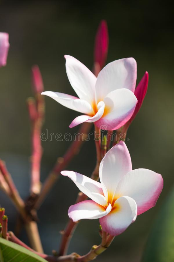 Rosa plumeria, Frangipani royaltyfri foto