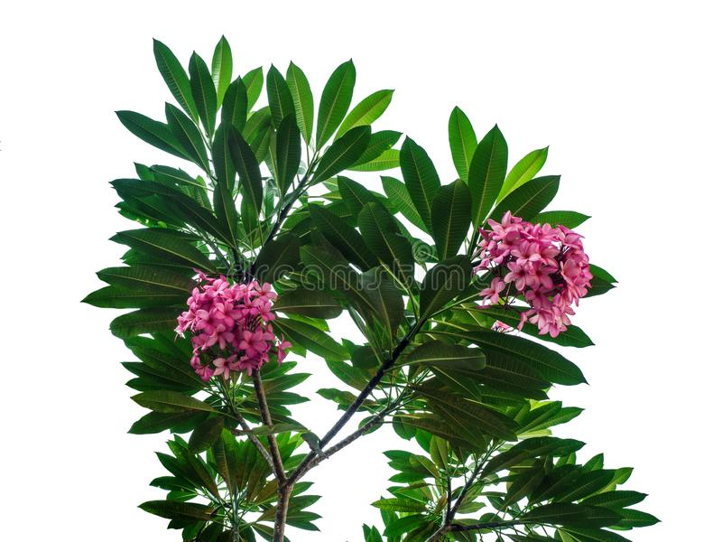 Rosa plumeria som blommar på trädet Frangipani med sidor som isoleras på vit bakgrund royaltyfri bild