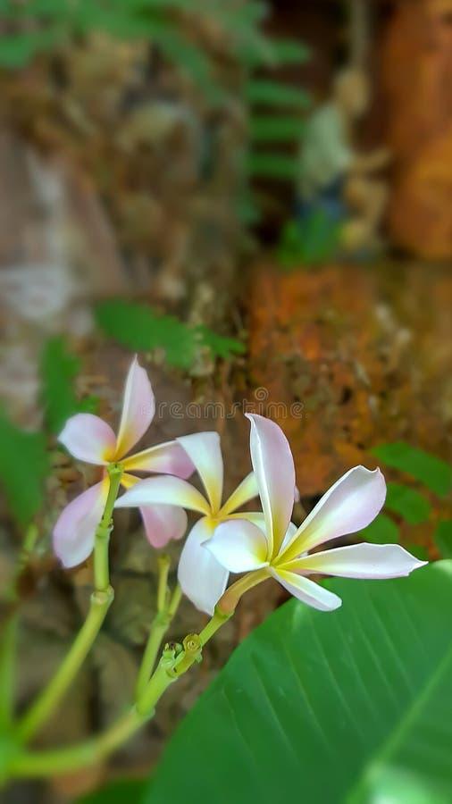 Rosa Plumeriablommor på den gamla trädgårdväggen royaltyfria bilder