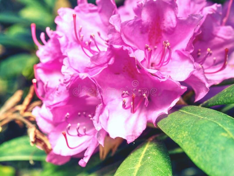 Rosa precioso de la azalea en jardín de la cama de flor Rama floreciente del rododendro imagen de archivo libre de regalías