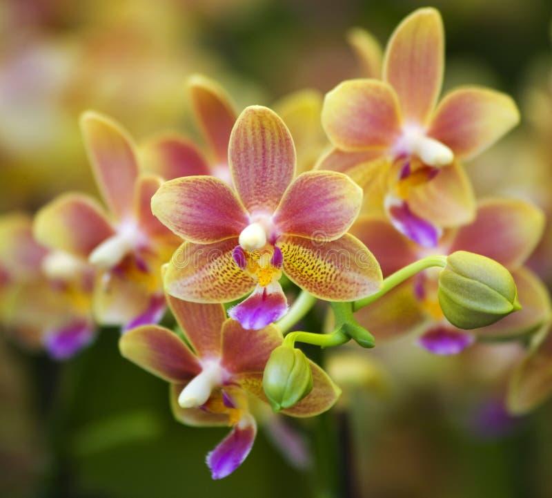 rosa prickig yellow för orchids arkivfoto