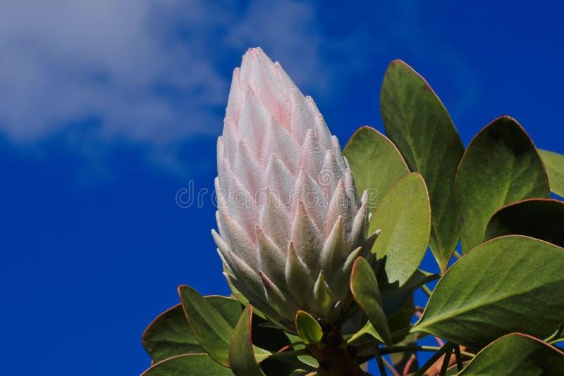 Rosa Protea-Blume schloss stockfoto