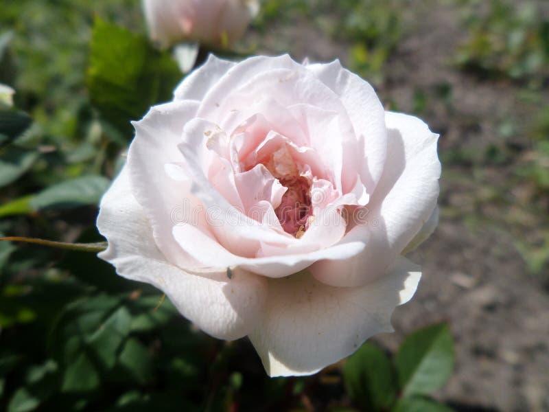 Rosa pura fotografia de stock
