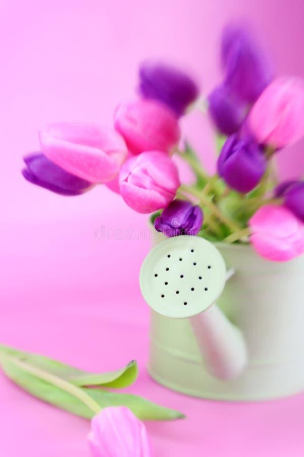 rosa purpura tulpan royaltyfria foton