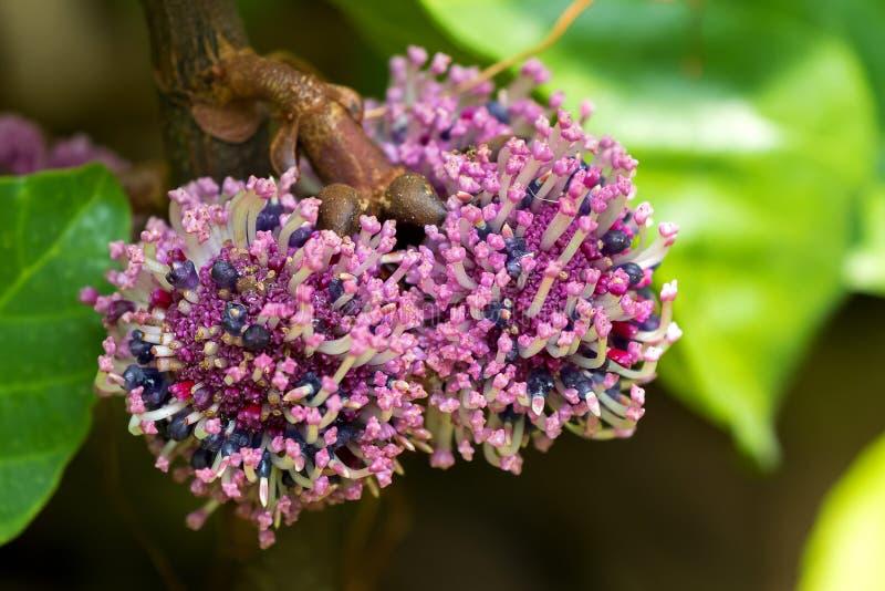 Rosa purpurfärgad blomma av Poikilospermum suaveolens Blume Merr arkivfoto