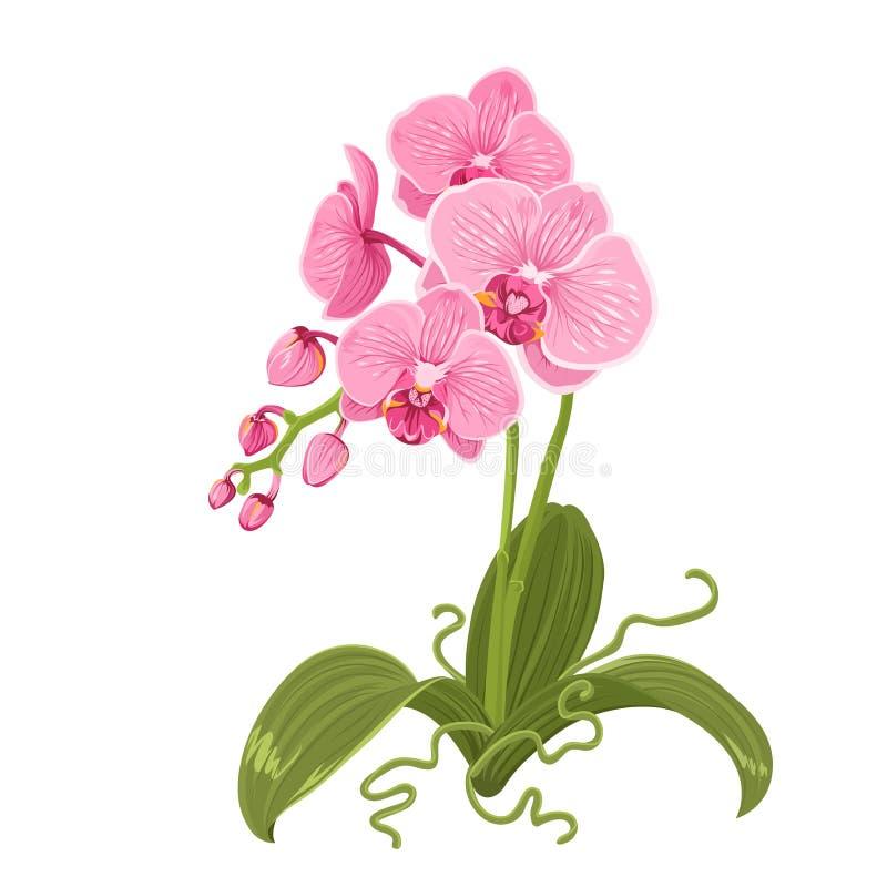 Rosa purpurfärgad isolerad orkidéphalaenopsisblomma royaltyfri illustrationer