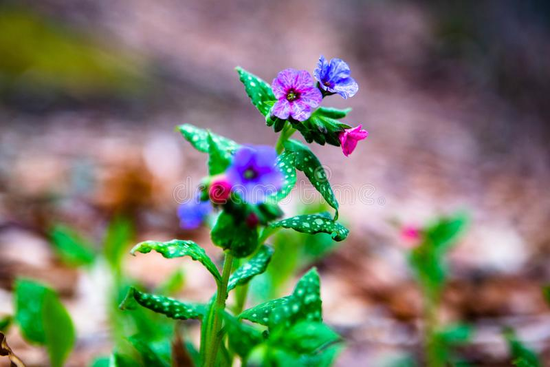 Rosa purpurfärgade och blåa vildblommor royaltyfria bilder