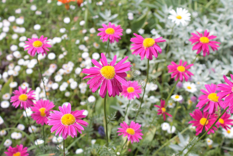 Rosa pyrethrum (Pyrethrumcoccineumen) royaltyfri bild