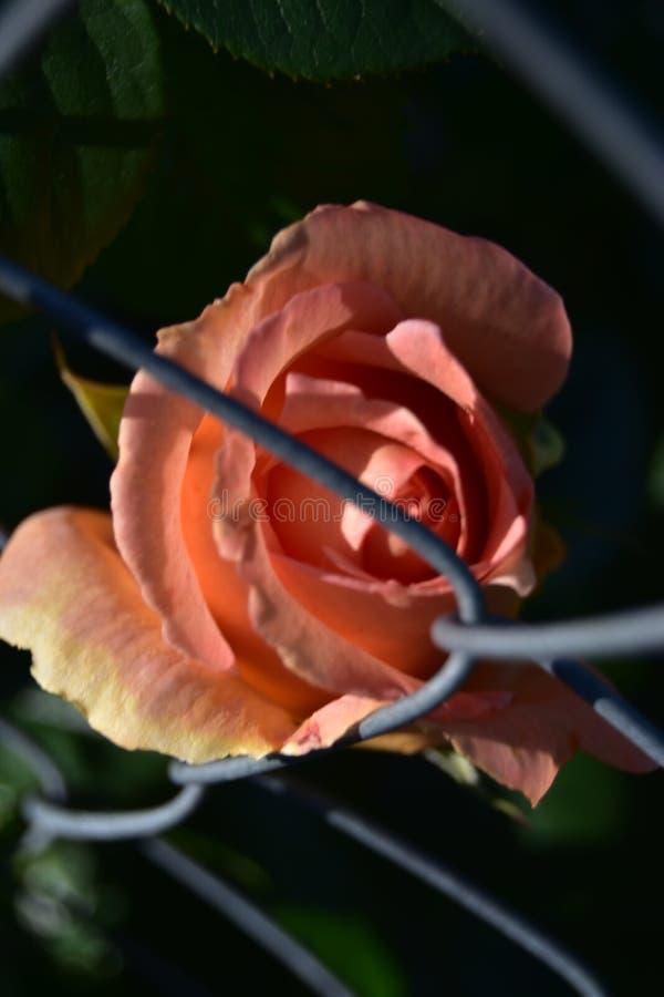 Rosa que cresce na cerca metálica foto de stock