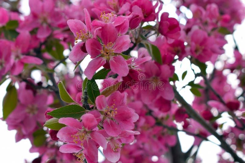 Rosa Quitte blüht im Frühjahr lizenzfreie stockfotos