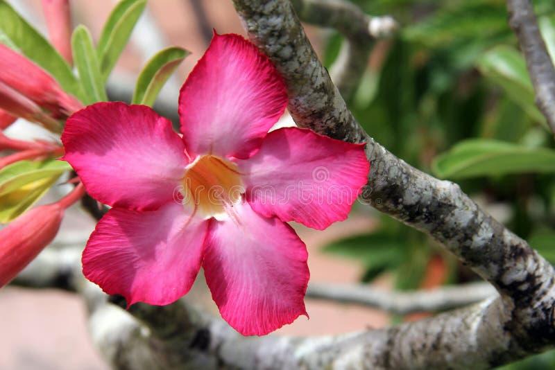 Rosa röd blomma för öken fotografering för bildbyråer